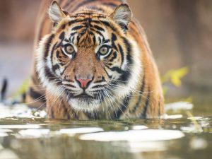 A tiger writes . . .
